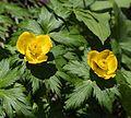 Trollius japonicus (flower s2).JPG