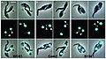 Trypanosoma congolense (02).jpg