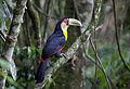 Tucano-de-bico-verde (Ramphastos dicolorus) (11278624265).jpg