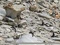 Tufted Duck (Aythya fuligula) (33970320641).jpg