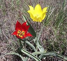 Tulipa gesneriana 001.jpg