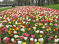 Tulips at Buckingham Fountain.jpg