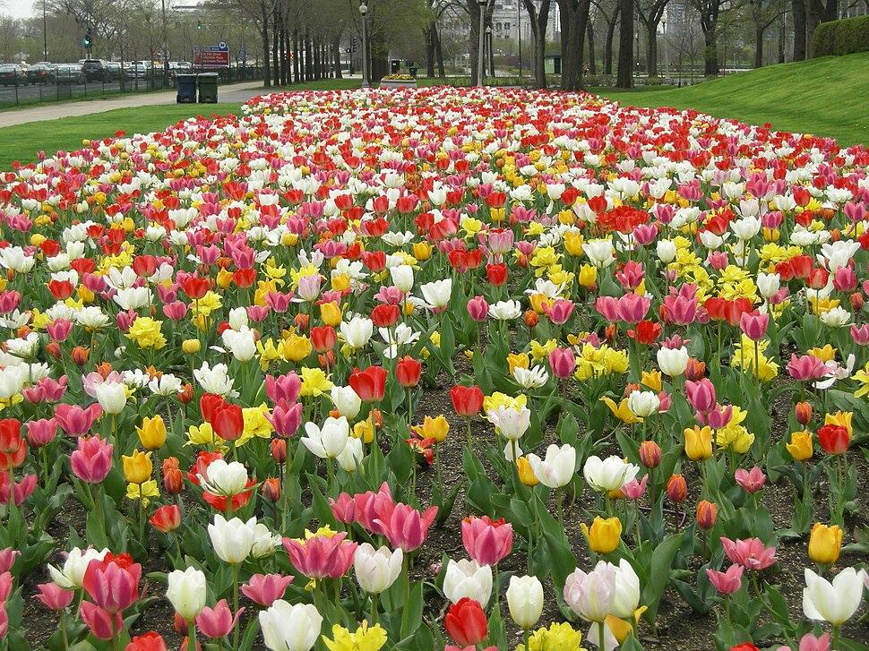 Tulips at Buckingham Fountain