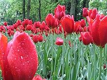 Campo di tulipani a Keukenhof (Paesi Bassi)