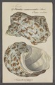 Turbo marmoratus - - Print - Iconographia Zoologica - Special Collections University of Amsterdam - UBAINV0274 082 23 0002.tif