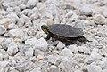Turtle (35551198846).jpg