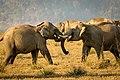 Tussle of tuskers.jpg