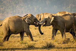 Jim Corbett National Park - Friendly tussle of tuskers at Dhikala grassland