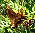Two-tailed Pasha. Charaxes jasius - Flickr - gailhampshire (1).jpg