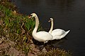 Two Swans in the DFG.jpg