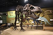 Tyrannosaurus rex skeleton (cast of specimen MOR 555) at Cleveland Museum of Natural History.jpg