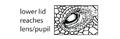 U4. Eyelid ventral to lens (A01d).png