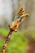 Uitlopende bladknop van een paardenkastanje (Aesculus). 18-04-2021. (d.j.b) 02.jpg