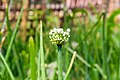 Umbel of onion flowers-Koshi Tappu Wildlife Reserve-Paschim Kasuha 05.JPG