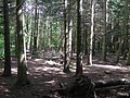 Under the dark firs - Salcey Forest - July 2009 - panoramio.jpg