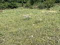 Une marmotte au loin sur le rocher aux marmottes à Eygliers (juillet 2020).jpg