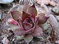 Unidentified garden succulent plant.JPG