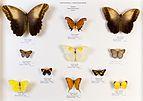 Université de Rennes 1, collection Charles Oberthür, papillons, région néotropicale, boîte 3.jpg
