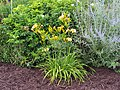 Unknown Daylilies on West Slope S4 - 9293374753.jpg