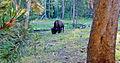 Unmolested, Yellowstone Buffalo 9-11 (20376721855).jpg