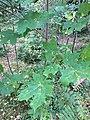 Vaahtera (Acer platanoides).jpg