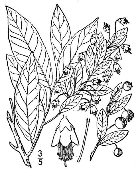 File:Vaccinium stamineum L. Deerberry.tiff