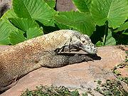 A basking Komodo dragon photographed at Disney's Animal Kingdom.