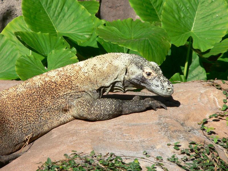 Komodo Dragon Wikipedia: Ini Dia Top 5 Hewan Paling Berbahaya Di Asia