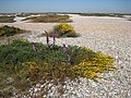 Vegetation on the shingle at Dungeness - geograph.org.uk - 413183.jpg