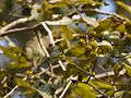 Vella Nava (Malayalam- വെള്ള നവ) (5329412144).jpg