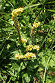 Verbascum nigrum PID966-2.jpg