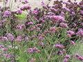 Verbena bonariensis2.jpg