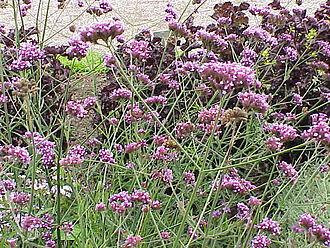 Verbena -  Purpletop vervain (V. bonariensis) as an ornamental plant