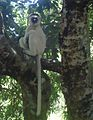 Verreaux's Sifaka. Propithecus verreauxi verreauxi - Flickr - gailhampshire.jpg
