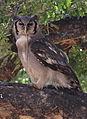 Verreaux's eagle-owl, or giant eagle owl, Bubo lacteus eating a snake at Pafuri, Kruger National Park, South Africa (20498544179).jpg