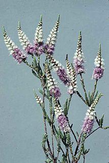 <i>Verticordia spicata</i> species of plant