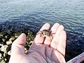 Very small crab, caught on a fishing rod.jpg