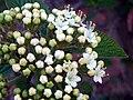 Viburnum lantana FlowersCloseup 2009Mach28 DehesaBoyaldePuertollano.jpg