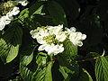 Viburnum plicatum02.jpg