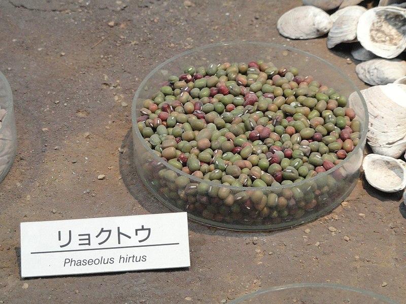 File:Vigna radiata - Osaka Museum of Natural History - DSC07735.JPG
