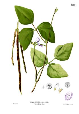 Cowpea (Vigna unguiculata subsp. Unguiculata)