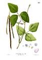 Vigna unguiculata Blanco2.285.png