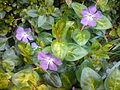 Vinca major (cultivars) - 2.jpg