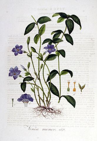 Vinca minor — Flora Batava — Volume v6