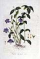 Vinca minor — Flora Batava — Volume v6.jpg