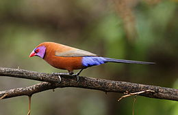 Violet-eared waxbill, Uraeginthus granatinus, at Pilanesberg National Park, Northwest Province, South Africa (male) (16814608080).jpg
