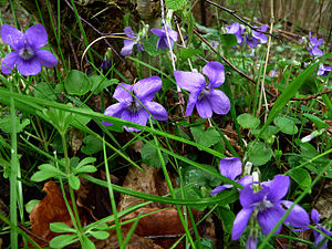 Violets beside the track