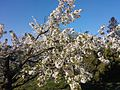 Virágzik a cseresznye - panoramio.jpg