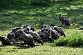 Vultures feasting in the Serengeti (3) (28597464226).jpg