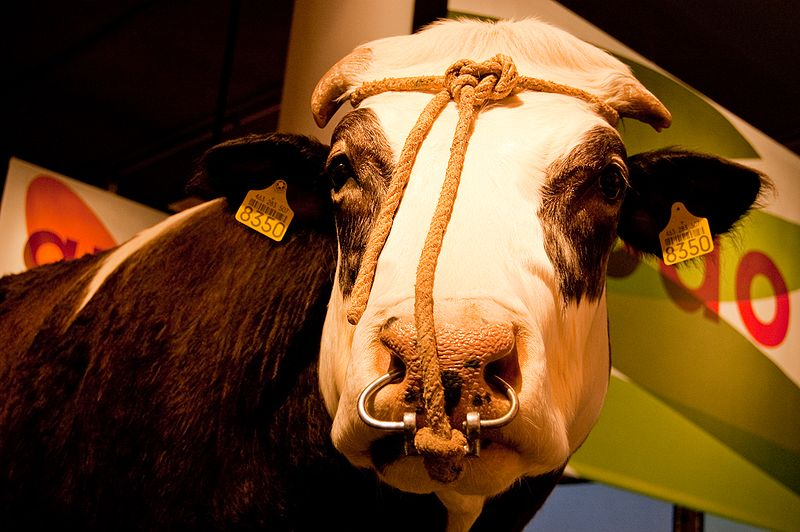 File:WLANL - kwispeltail - Herman the Bull.jpg